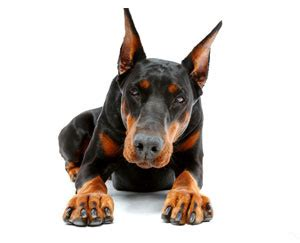 how to a doberman to be a guard doberman puppy for protection cropped and docked dobermans uk