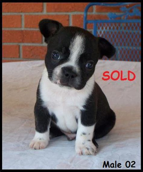frenchton puppies for sale in alabama american kennel club southeast alabama kennel club breeds picture