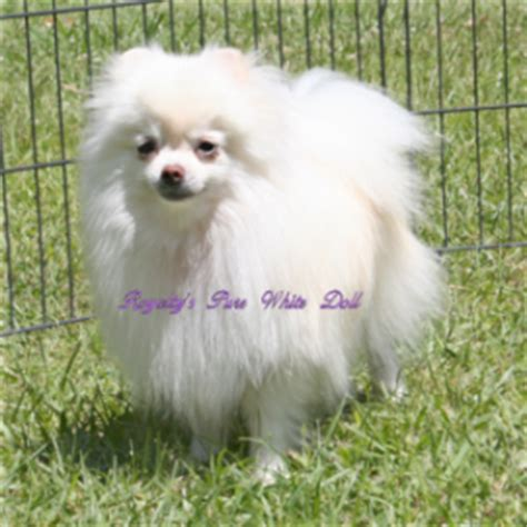 pomeranian breathing fast doll puppies breeds picture