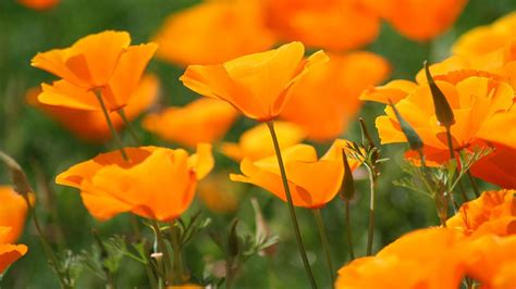 poppy flower colors orange poppies wildflower garden orange poppy
