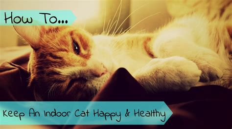 How To Keep Cat by How To Keep An Indoor Cat Happy And Healthy