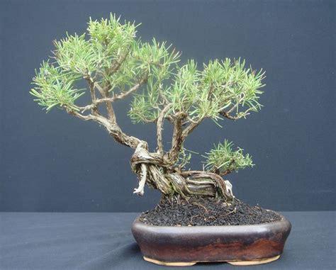 cura rosmarino in vaso bonsai rosmarino cura bonsai coltivazione bonsai rosmarino