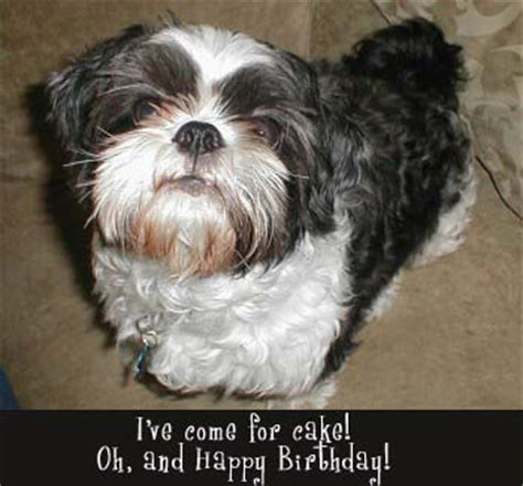 happy birthday shih tzu pictures birthday free cat ecards at furallover