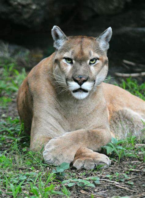 runner kills mountain lion  hes attacked  drives   hospital world news