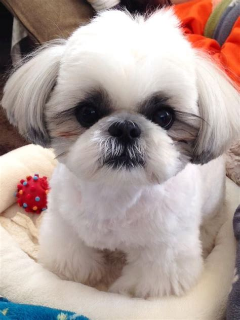 shih tzu teeth problems 15 things you didn t about shih tzus quiz
