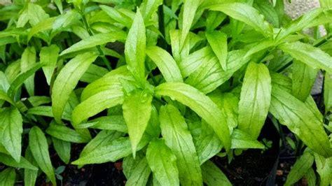 herba kesihatan belalai gajah sabah snake grass