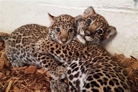 jaguar cubs born at elmwood park zoo get names