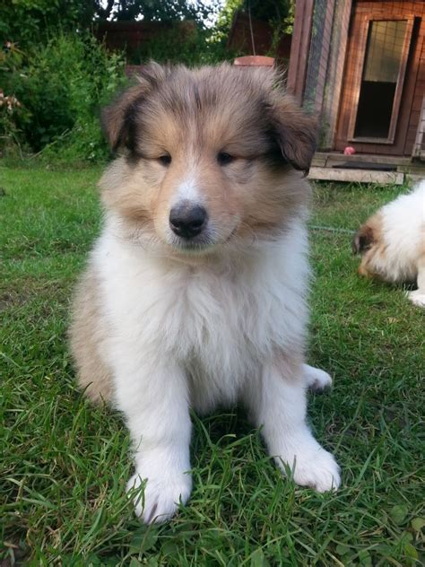 collie puppy for sale 10 week collies puppies for sale cottingham east of
