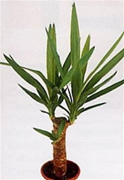 tronchetto pianta appartamento tronchetto ammalato domande e risposte piante appartamento