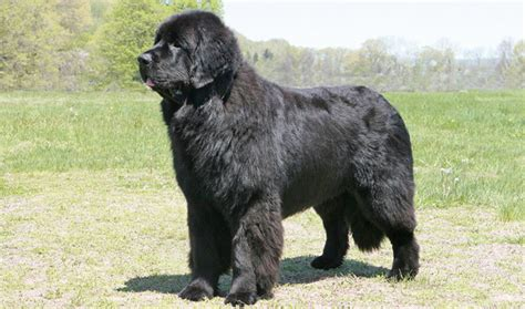 newfoundland dogs newfoundland breed information