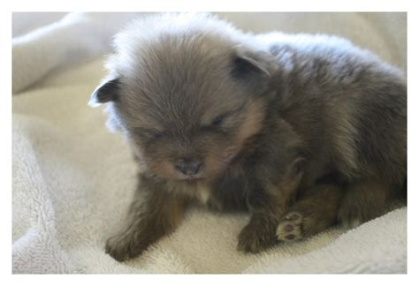lavender pomeranian 3 week lavender pomeranian puppy poms and yorkies