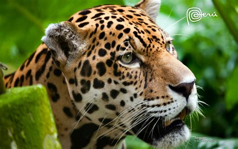jaguar images hd jaguar the big cat wallpapers hd wallpapers id 11785