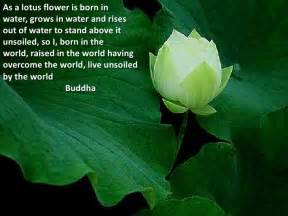 Lotus Flower Quote Buddha Lotus Flower Meaning Quotes Quotesgram
