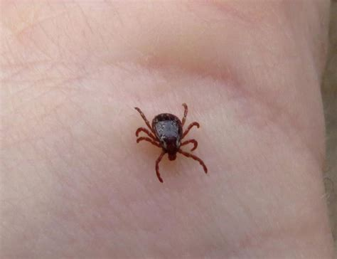 american tick diseases can that tick carry lyme disease this website can help wshu