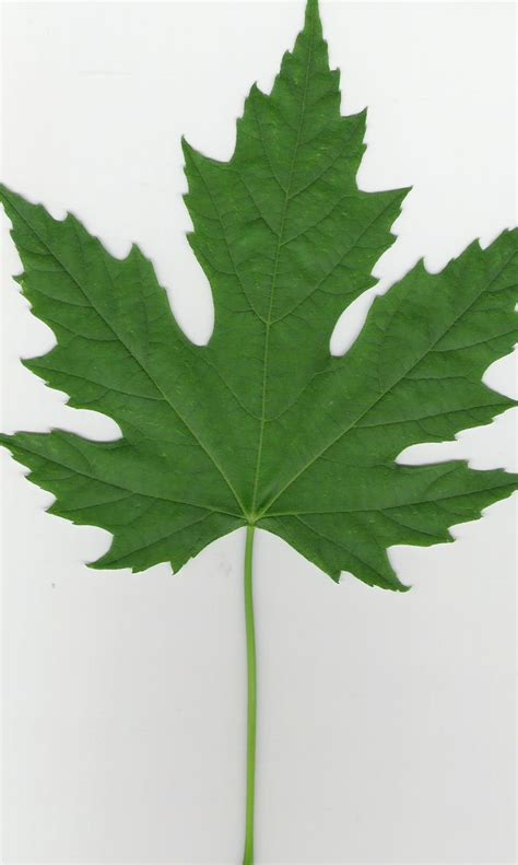 trees identification flashcards by proprofs cool trees silver maple leaf and