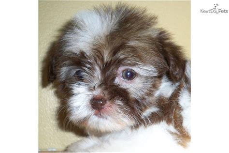 havanese ontario puppy for sale mississauga on breeds picture