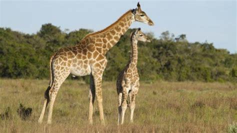 imagenes de amor con jirafas 191 cu 225 nto pesa una jirafa