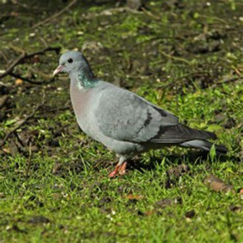 stock dove facts stock dove information twootz com