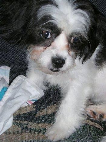 cavalier shih tzu mix cava tzu cava tzus cavalier shih tzu hybrid dogs breeds picture