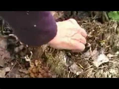 funghi pioppini come cucinarli pioppini videolike