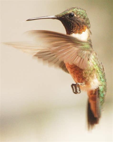 hummingbird flying by pezhunter on deviantart