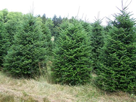 hubbards christmas tree farm bliss shala