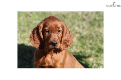 irish setter girl dog names meet puppy girl a cute irish setter puppy for sale for