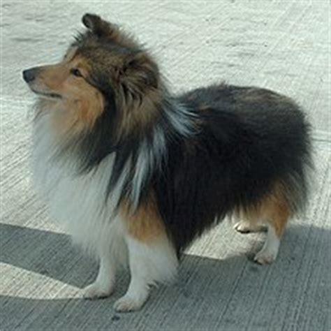 Mini Encyclopedia Dogs Explore The Wonderful World Of Dogs Ency Min collie