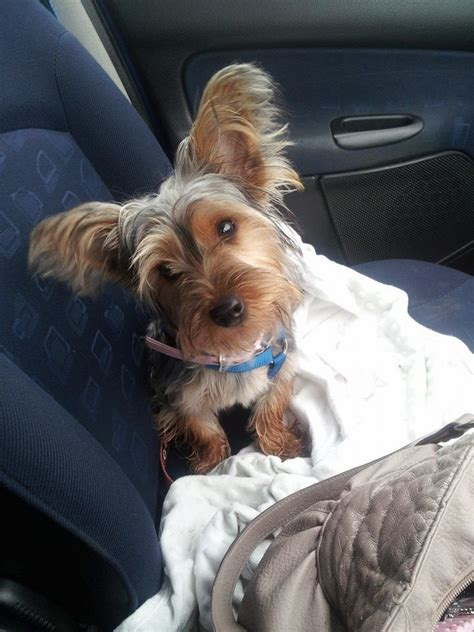 9 month yorkie yorkie 9 months gillingham kent pets4homes