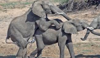 Wildlife gt male elephant mounts another male just show off dominance