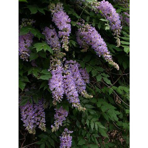 jc raulston arboretum photographs wisteria macrostachya aunt dee