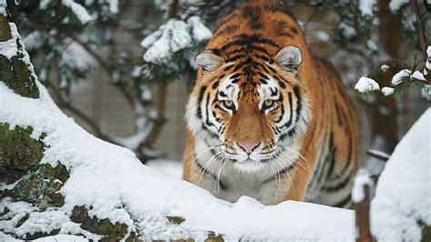 tiger denmark odense zoo zoological gardens visitdenmark