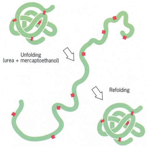 a protein can become denatured when denaturing and refolding of proteins andrew bute