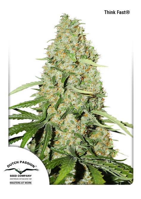 duch pasion think fast 174 cannabis seeds fast variety order here