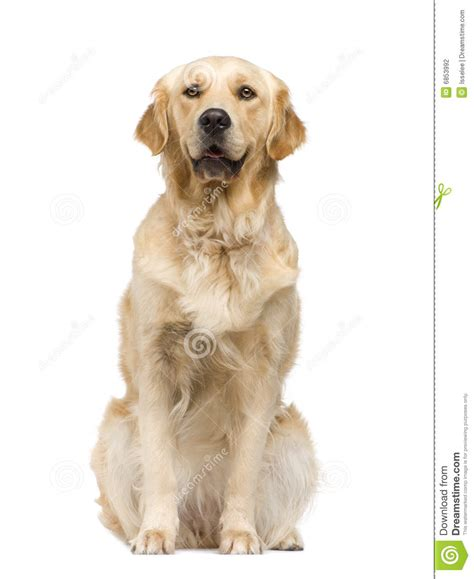 two year golden retriever golden retriever 2 years stock photography image 6853992