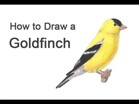 how to draw a goldfinch youtube