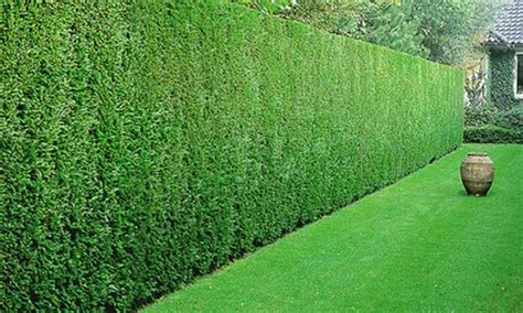 Baldur Garten by 5 10 20 30 Or 50 Baldur Garten Leyland Cypress Hedge Plants 187 Furbweb