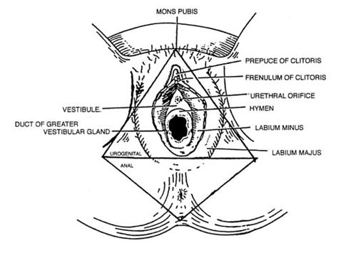 diagram of perineum figure 37 inferior view showing theexternally visible