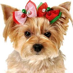 how to make yorkie hair bows hair bows on cat collars tutu and beaded collar