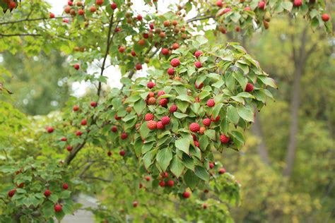 dogwood tree fruit edible kousa dogwood the fruit nut