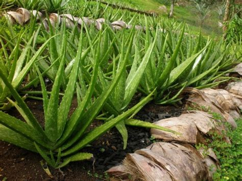 aloe vera plant facts important facts about aloe vera plant feel healthy life