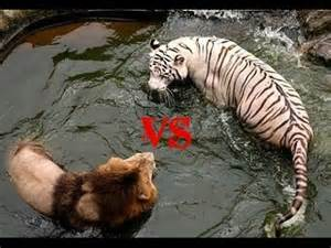 Tiger Vs Jaguar Who Would Win Vs Tiger Who Is The Real King