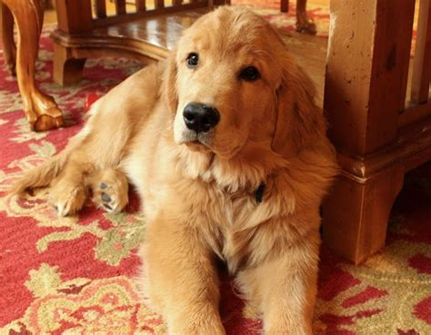 golden retriever at 5 months pin by fran cawley on puppies