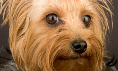 food for yorkies the best food for yorkies keeping your healthy wealth for my health