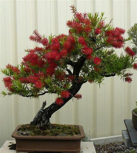 imagenes de uñas trackid sp 006 callistemon sp myrtaceae bonsai pinterest bonsai