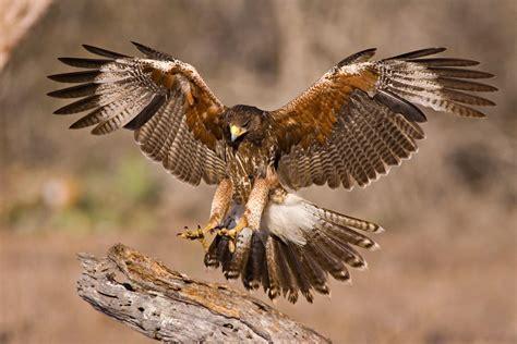 Biojanna 6 By A D Bird harris s hawk audubon field guide