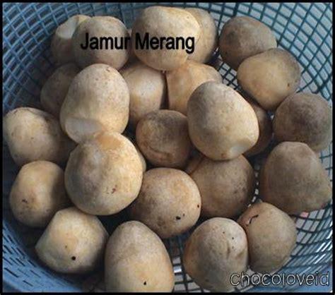 Bibit Jamur Tiram Di Surabaya jamur tiram jamur tiram jual jamur tiram putih segar
