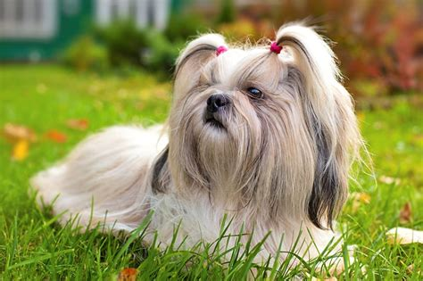 puppy shih tzu names 250 fantastic shih tzu names my s name