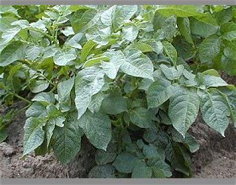 wann kartoffeln pflanzen wann kartoffeln pflanzen hochbeet pflanzen wann