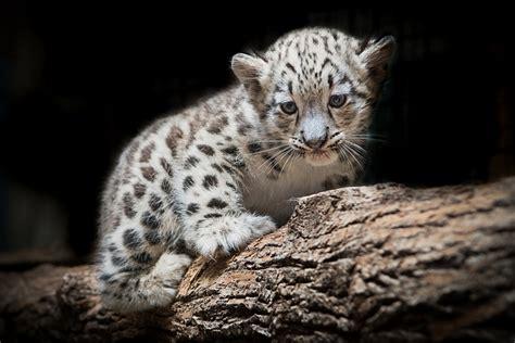 Panda Garden Janesville Wi by Baby Snow Leopard Ktrdecor